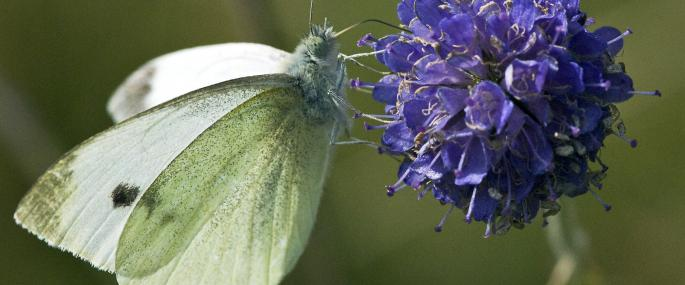 Small white butterfly feeding on scabious - Les Binns - Les Binns